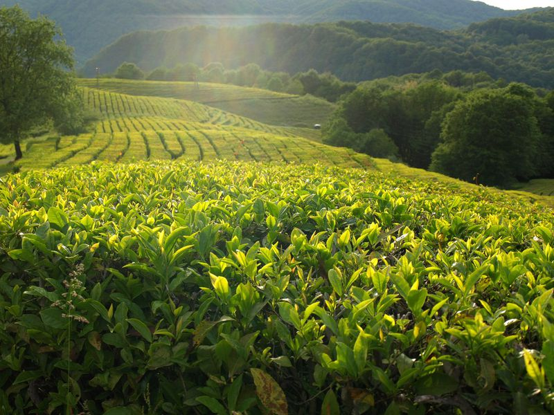 Курортный Сочи: Мацеста, чайная плантация иэкоферма